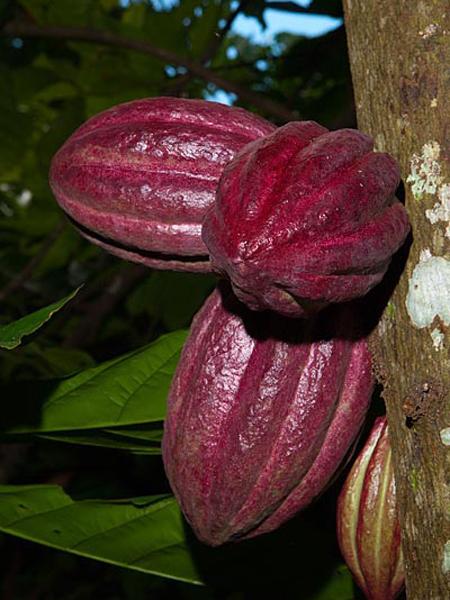 Cacao de nosy komba madagascar
