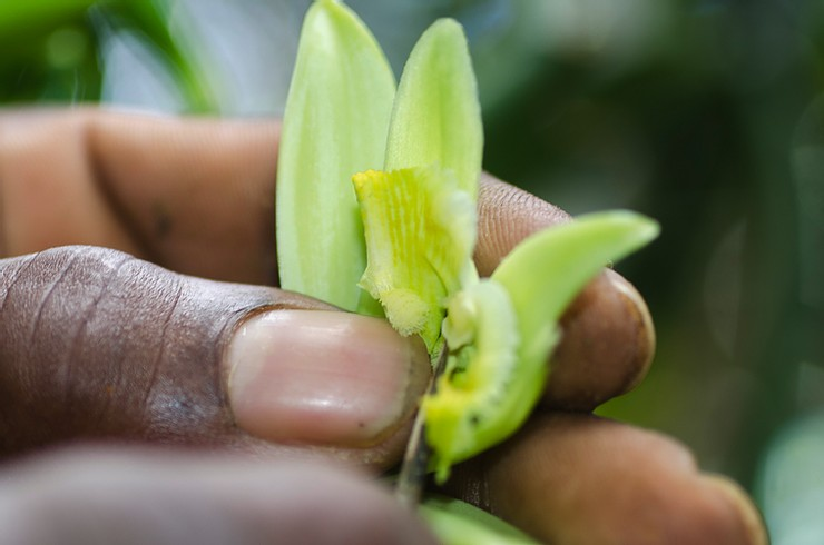 Pollinisation de la vanille -Akiba
